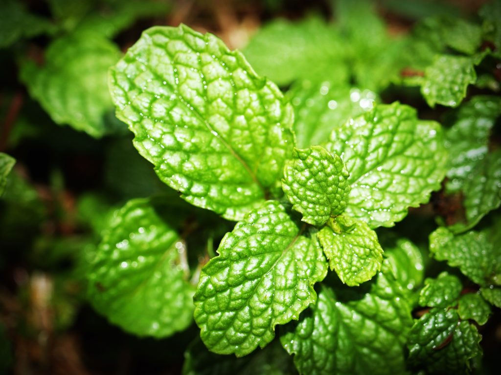 peppermint essential oil nail fungus