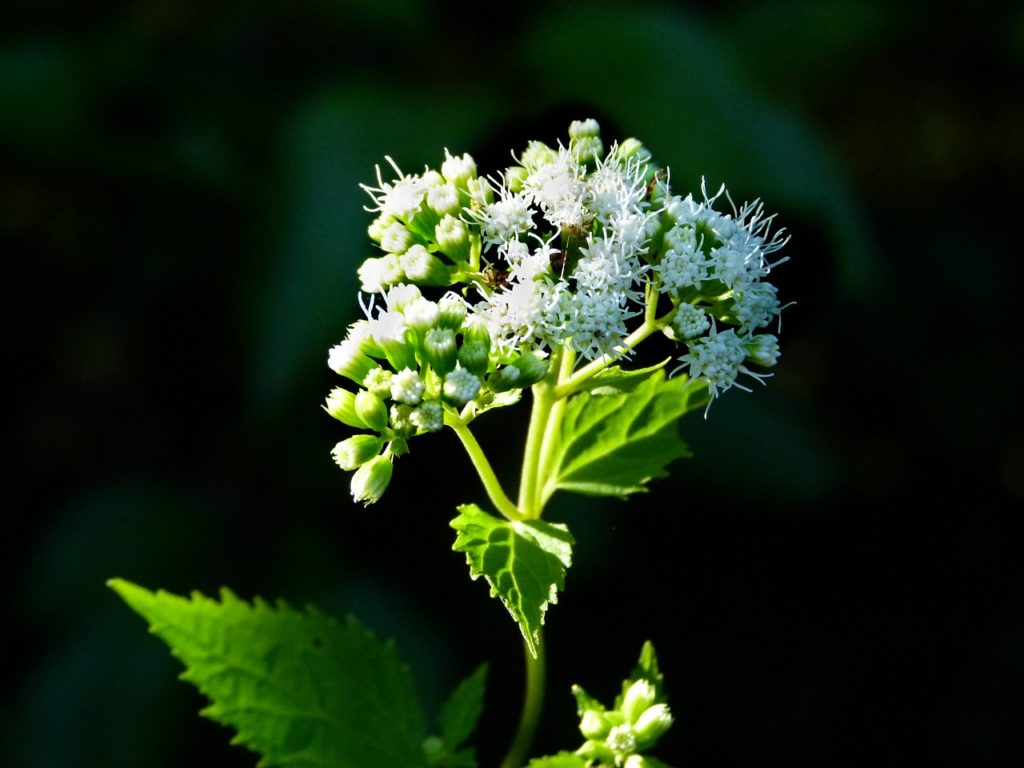 how to use snakeroot extract for toenail fungus